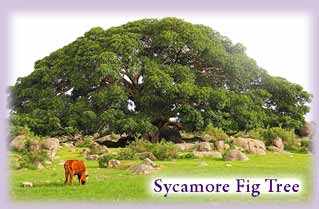 sycamore_fig_tree